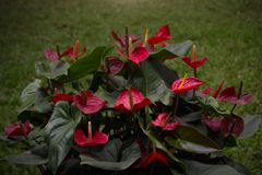 Red Flamingo flower or Pigtail Anthurium. With grass in the dark background Royalty Free Stock Photo