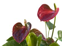 Red Flamingo Flower in white back Royalty Free Stock Photography
