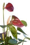 Red Flamingo Flower in white back Royalty Free Stock Photo