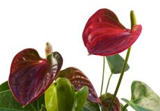 Red Flamingo Flower in white back Stock Image