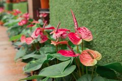 Red Flamingo flowers. Anthurium andraeanum Linden, a flowering plants in the Araceae family. It is commonly called tailflower Stock Photo