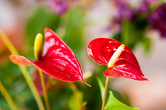 Red flamingo flowers Royalty Free Stock Image