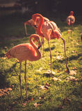 Red flamingo Royalty Free Stock Image