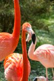 Red flamingo with long neck on the green grass.  royalty free stock images