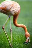 Red flamingo in a park Royalty Free Stock Images