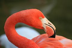 Red flamingo in a park Royalty Free Stock Photo