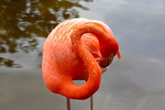 Red flamingo in a park in Florida Stock Images