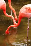 Red flamingo in a park in Florida Royalty Free Stock Photo