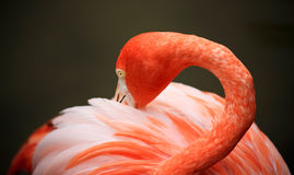 Red flamingo in a park in Florida Stock Photo
