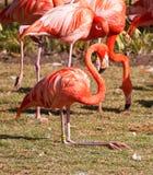 Red flamingo sitting on grass Stock Photos
