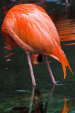 Red Flamingo. Standing in water, dark background Royalty Free Stock Photos