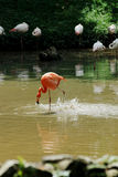 Red Flamingo. A Flamingo is trying to catch fish in a lake Stock Photography