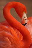 Red flamingo. Vertical portrait of greater flamingo Stock Images