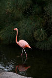Red  Flamingo walks on water. Stock Photos