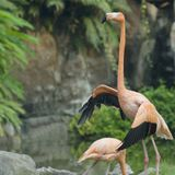 The red flamingo in zoo Royalty Free Stock Photos