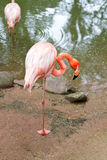 Red flamingo Royalty Free Stock Photography