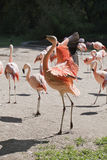 Red flamingo Royalty Free Stock Photo