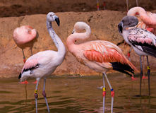 Red flamingoes Stock Photography