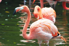 Red Flamingos Stock Image