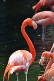Red Flamingos Stock Images