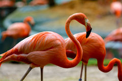 Red flamingos. Group of red flamingos eating. One is dominate in the shot with a curved neck Stock Photos