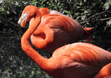 Red flamingos Royalty Free Stock Photo