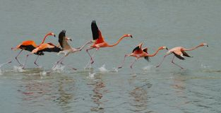 Red Flamingos on the ocean and see Stock Photography