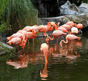 Red flamingos pack in ecological biopark. Stock Images