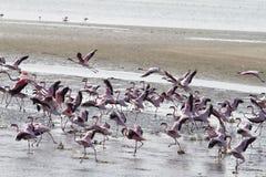 Red flamingos. Some red flamingos in a namibian lagoa Royalty Free Stock Photos