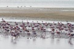 Red flamingos. Some red flamingos in a namibian lagoa Stock Photo