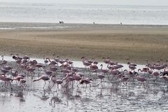 Red flamingos. Some red flamingos in a namibian lagoa Stock Photography