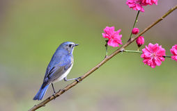 Red-flanked Bluetail. A bird in the bath Stock Photos