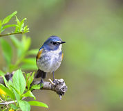 Red-flanked Bluetail Royalty Free Stock Photos