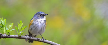 Red-flanked Bluetail Royalty Free Stock Photography