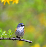 Red-flanked Bluetail Stock Photography