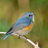 Red-flanked Bluetail bird Royalty Free Stock Photo