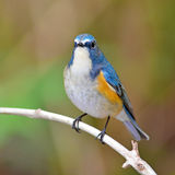 Red-flanked Bluetail bird Stock Photos