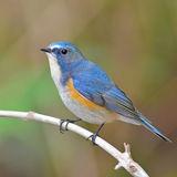 Red-flanked Bluetail bird Royalty Free Stock Image