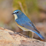 Red-flanked Bluetail bird Royalty Free Stock Photography