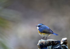Red-flanked Bluetail Stock Image