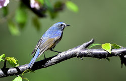 Red-flanked Bluetail Royalty Free Stock Image