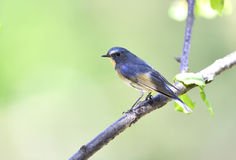 Red-flanked Bluetail Stock Images
