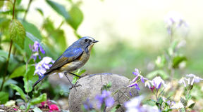Red-flanked Bluetail Royalty Free Stock Photo