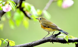 Red-flanked Bluetail Royalty Free Stock Images