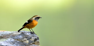 Red-flanked Bush Robin Royalty Free Stock Image