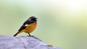 Red-flanked Bush Robin Stock Photo