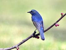 Red-flanked Bush Robin Stock Image