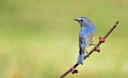 Red-flanked Bush Robin Stock Images