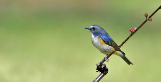 Red-flanked Bush Robin Stock Photography