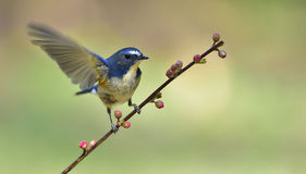 Red-flanked Bush Robin Royalty Free Stock Images